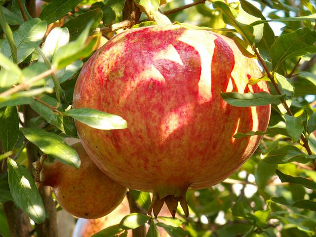 Гранат ягода или фрукт википедия