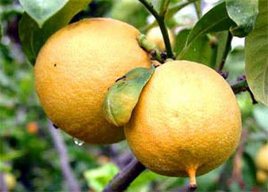 Бергамот (Citrus bergamia) - Пряные травы и специи - Готовить легко!